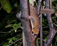 亦称夜画象棕色老鼠狐猴Microcebus rufus东部红褐色或赤褐色在Ranomafana,马达加斯加 库存图片