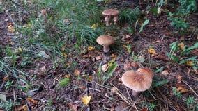 亦称小组蘑菇相似与蛤蟆菌,但是褐色伞形毒蕈rubescens胭脂 免版税图库摄影