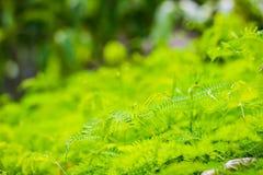 亦称年轻绿色留下银合欢属leucocephala、一棵小迅速发展的mimosoid树和白色leadtree, jumba ans新芽  库存照片