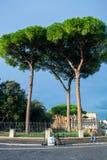 亦称意大利石松皮努斯Pinea日本金松/遮阳伞杉木,沿罗马街道的高大的树木  免版税图库摄影