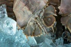 亦称扁平头的龙虾Thenus orientailis海湾龙虾,在冰的摩顿湾臭虫 免版税库存照片