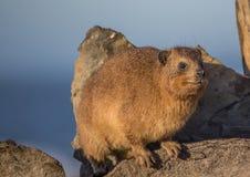 亦称日光浴岩石非洲蹄兔在水獭足迹的蹄兔属海角在印度洋 库存图片