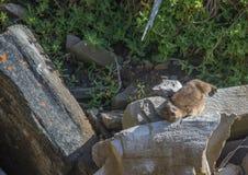 亦称日光浴岩石非洲蹄兔在水獭Trais的蹄兔属海角在印度洋 库存图片
