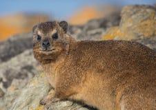 亦称日光浴岩石非洲蹄兔在水獭Trais的蹄兔属海角在印度洋 图库摄影