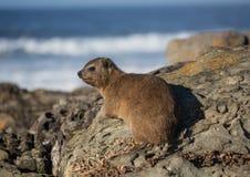 亦称日光浴岩石非洲蹄兔在水獭Trais的蹄兔属海角在印度洋 免版税库存图片