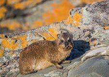亦称日光浴岩石非洲蹄兔在水獭Trais的蹄兔属海角在印度洋 库存照片