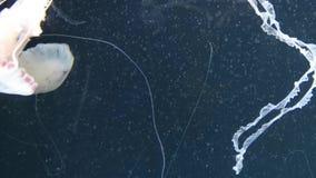 亦称柯桠素hysoscella指南针水母 这是显示与棕色标号的一只真实的水母径向对称 影视素材
