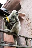 亦称灰色叶猴Hanuman叶猴(Semnopithecus dussumieri) (瑞诗凯诗,印度) 免版税库存照片