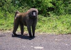 亦称狒狒anubis橄榄色的狒狒在内基萨国家公园埃塞俄比亚 免版税库存图片