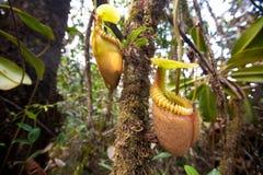 亦称猪笼草villosa猴子捕虫草 免版税库存照片