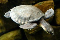 亦称猪被引导的乌龟挖坑被轰击的乌龟或飞行劈裂 库存照片