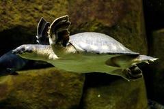 亦称猪被引导的乌龟挖坑被轰击的乌龟或飞行劈裂 免版税库存照片