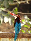 亦称白色红喉刺莺的翠鸟鸟或太平smyrnensis白的breasted翠鸟鸟 图库摄影