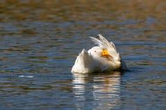 亦称白色pekin低头在一只镇静湖长岛鸭子、美国Pekin或者艾尔斯伯里鸭子,语录的自夸的羽毛 库存图片