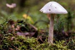 亦称蘑菇毁坏天使的伞形毒蕈virosa 库存图片