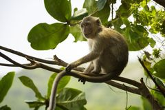 亦称螃蟹吃短尾猿长taile猕猴属的fascicularis 库存照片