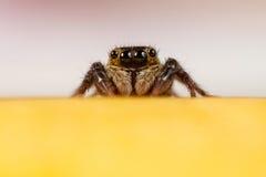 亦称跳跃的蜘蛛Sitticus Fasciger 图库摄影