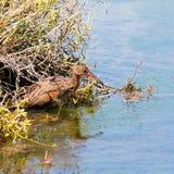 亦称里奇韦` s路轨在鸟类保护区的Rallus Obsoletus在橘郡加利福尼亚 拍板路轨 免版税图库摄影