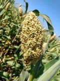 亦称高梁植物Jowar庄稼在印度次大陆 免版税库存照片