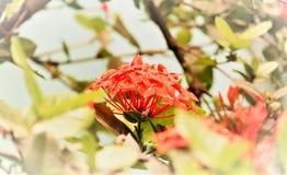 亦称黑莓百合虹膜domestica豹子百合,豹子花是鸢尾科家庭的一个园林植物 免版税库存图片