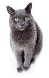 亦称绿眼的马尔他猫英国蓝色 库存照片