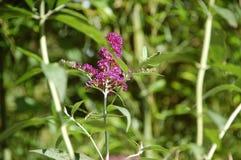 亦称紫色Buddleja或者醉鱼草属Buddlea 免版税库存图片