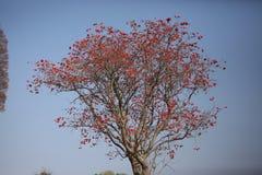 亦称Kafferboom沿海珊瑚结构树 库存图片