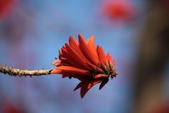 亦称Kafferboom花沿海珊瑚结构树 库存照片