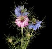 亦称Nigella damascena在黑色隔绝的爱在雾中花 免版税库存照片
