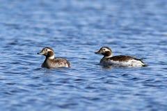 亦称Oldsquaw 长尾的鸭子游泳在一个夏日 免版税库存图片