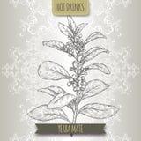 亦称Yerba伙伴冬青属与叶子和花的paraguariensis分支 库存例证