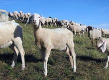 产小羊与吃草在草甸的许多绵羊 库存照片