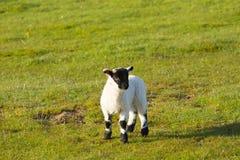 产小羊与黑体字腿膝盖和脚 图库摄影