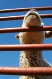 产小羊家畜 库存照片