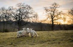 产小羊新出生的绵羊 库存图片