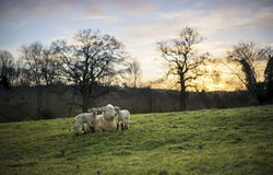 产小羊新出生的绵羊 免版税库存图片
