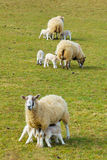 产小羊新的春天 库存图片