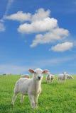 产小羊新 库存照片