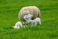 产小羊时间,与双羊羔的特塞尔母羊 库存图片