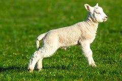 产小羊时间 Dalesbred Ram羊羔在约克郡谷地,英国 库存图片