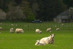 产小羊时间 库存图片