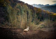 产小羊注视在La Garrotxa,西班牙的小山 库存图片