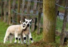 产小羊淘气 库存照片