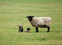 产小羊绵羊孪生 免版税图库摄影