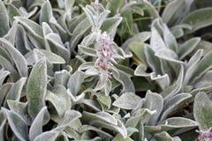 产小羊耳朵植物(水苏属拜占庭人) 库存图片