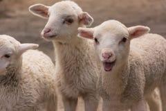 产小羊年轻人 图库摄影