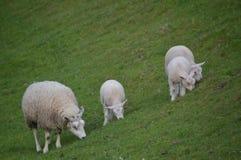 产小羊绵羊 库存照片