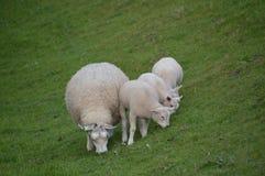 产小羊绵羊 库存图片