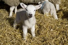产小羊 库存图片