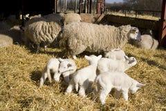 产小羊 库存照片